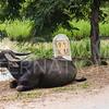 Water Buffalo at 99KM