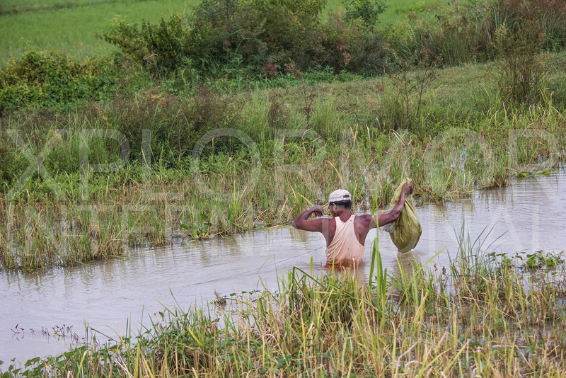Wading in the Paddy