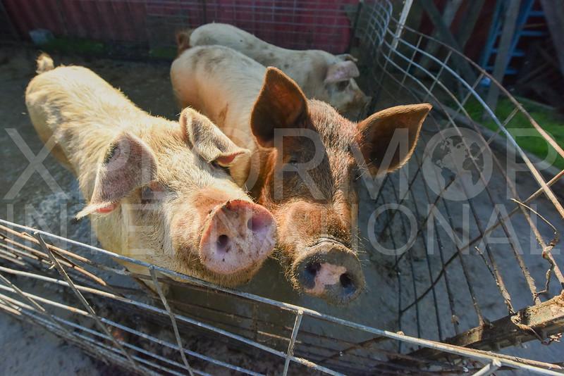 Pair of Piggies