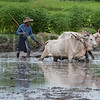 Plowing the Rice Paddy II
