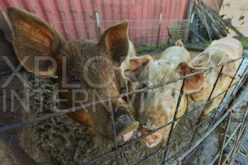 Pair of Piggies 2