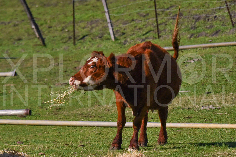 Cow Chewing His Cud 2