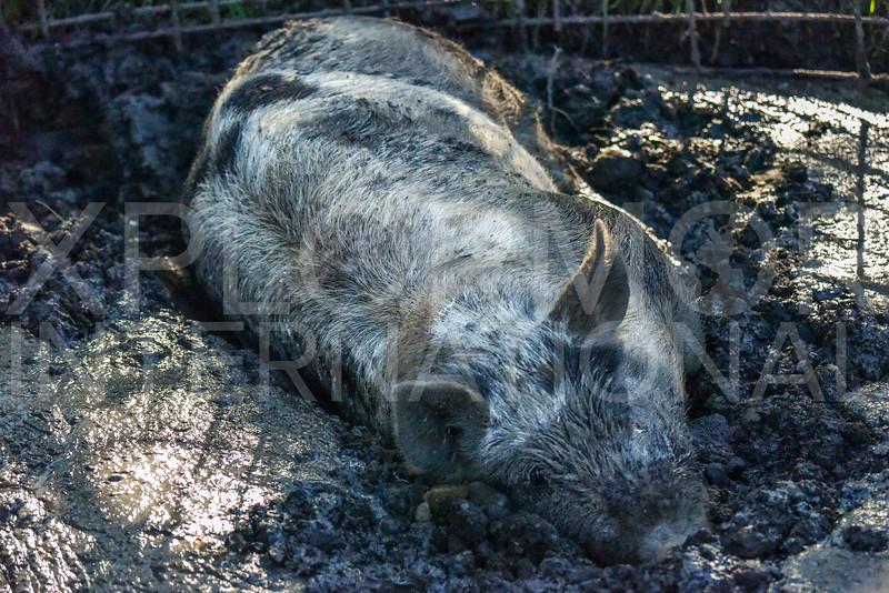 Pig Wallowing in Mud