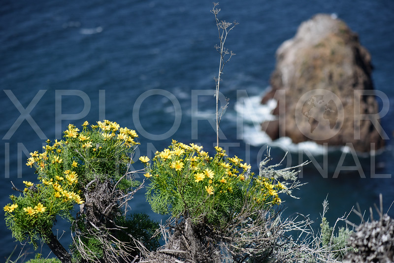 Yellow Blooms of Giant Coreopsis