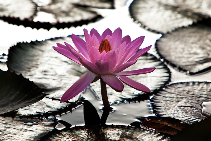 PerfectWaterLily onone final-2