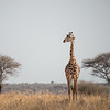 Portrait of a Giraffe, Serengeti National Park