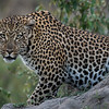 Portrait of a Leopard, Serengeti National Park