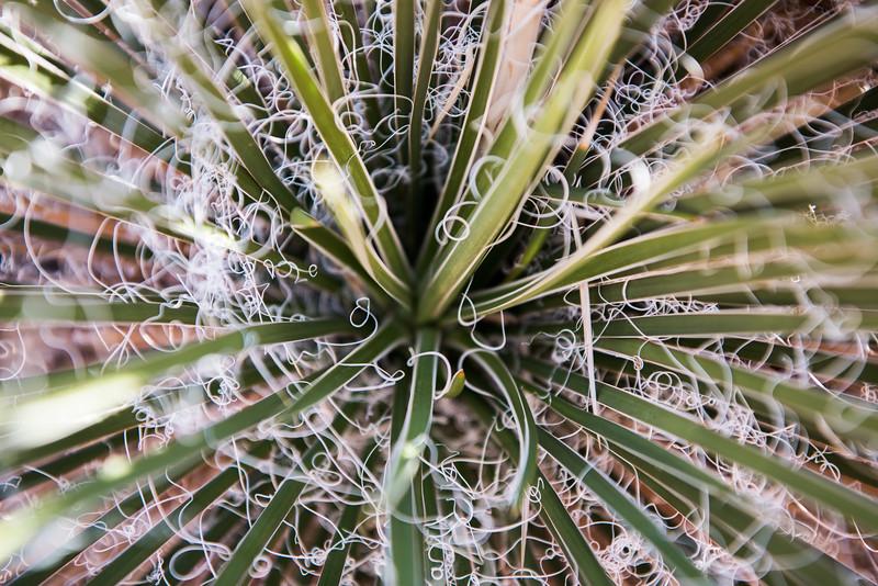 Portrait of a Yucca