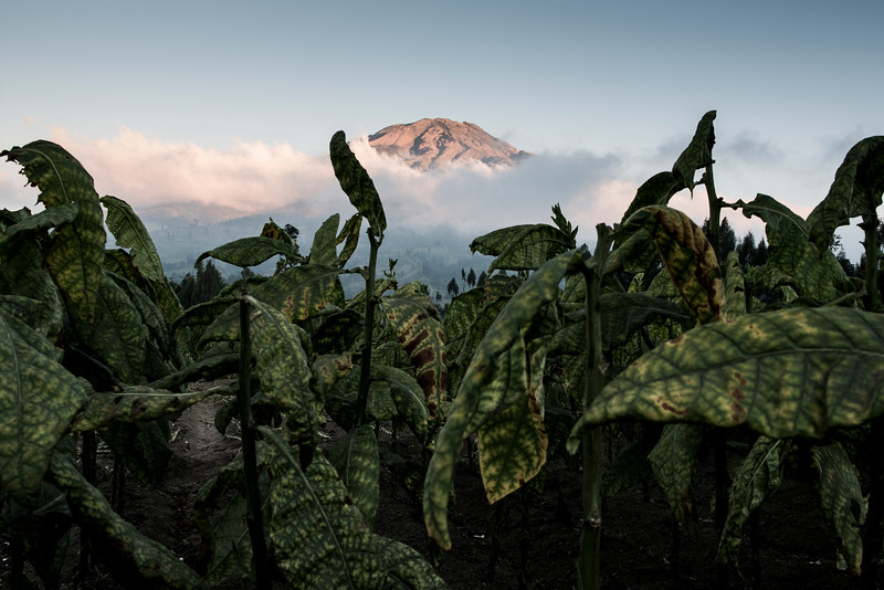 Tobacco and Mount Sumbing