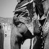Elephant Candid