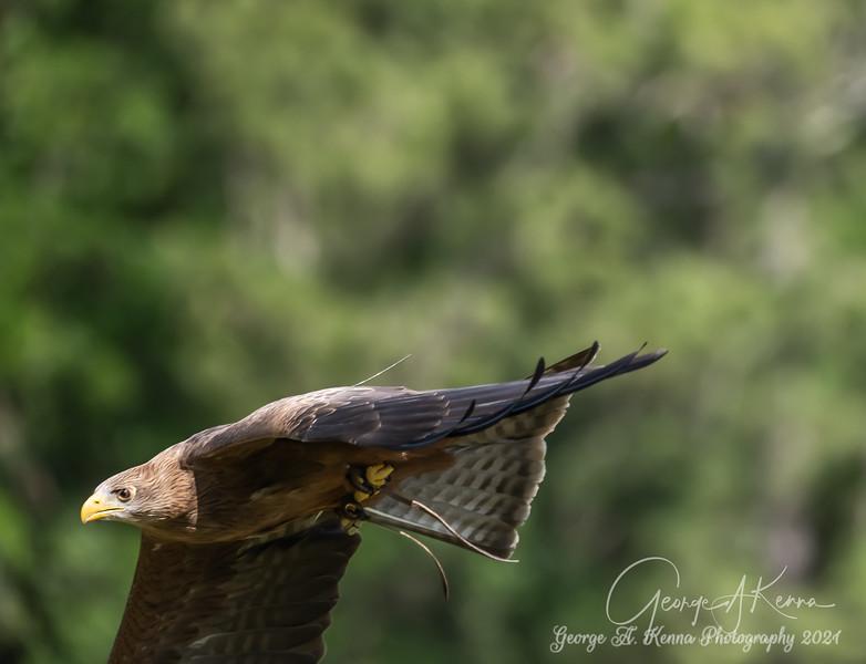 Yellow Billed Hawk