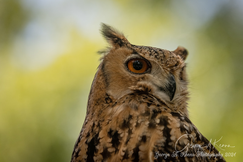 Savigny's Eagle Owl