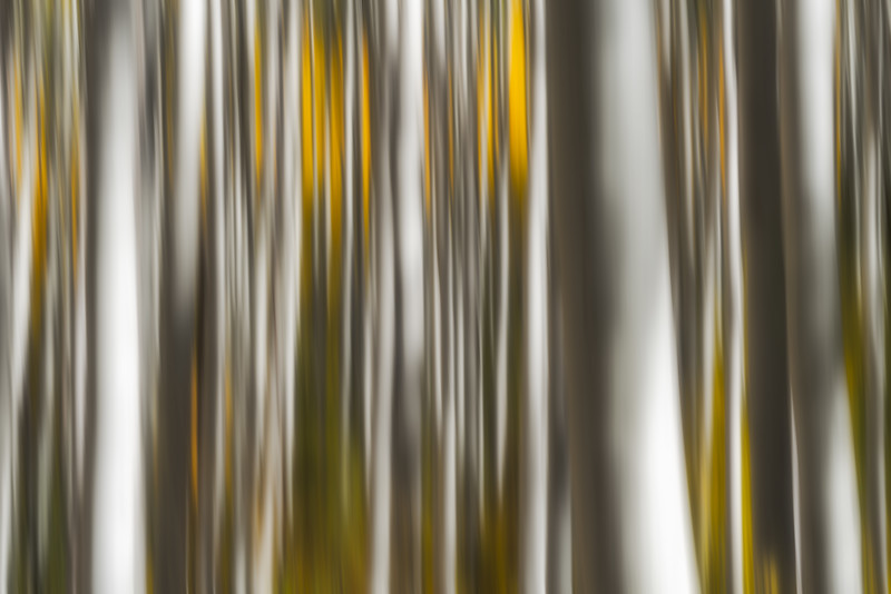 Colorado Aspens