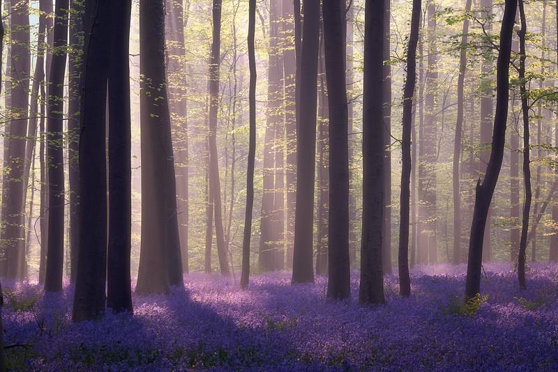 Purple morning II