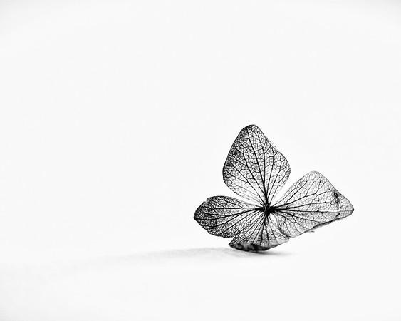 Hydrangea in B/W