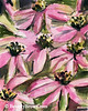 Purple Coneflowers Painting - Beverly Brown Artist