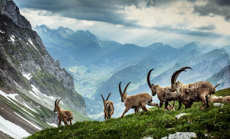 Alp Steinbok (Ibex)