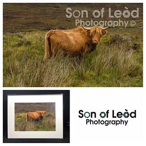 Highland Cow on The Isle of Skye