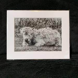 Highland coo calf on the Isle of Skye