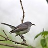 Blue Grey Gnatcatcher (Polioptila caerulea)