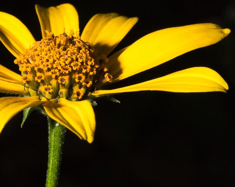 Woodland Sunflower (Helianthus strumosus)