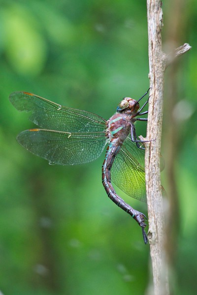 Shadow Darner (Aeshna umbrosa)