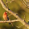 House Finch (Carpodacus mexicanus)