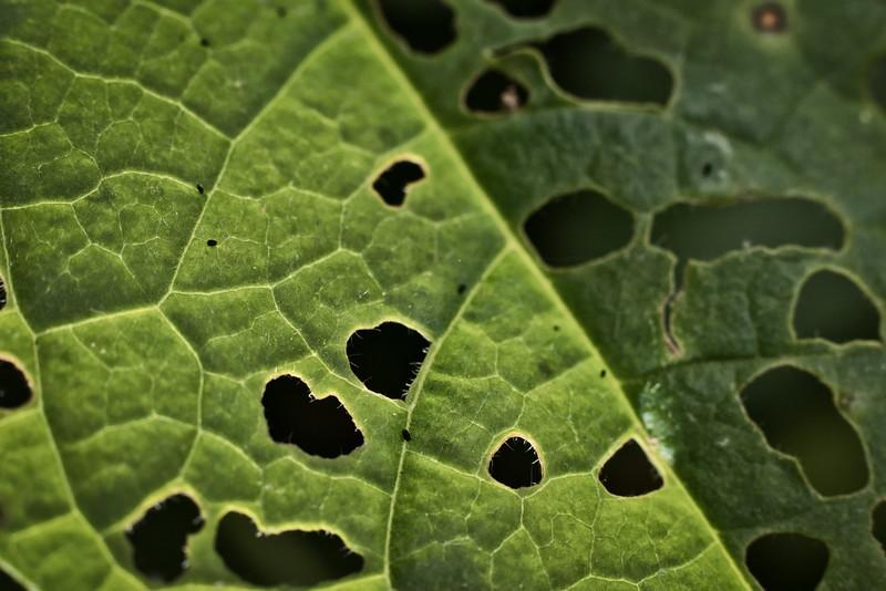 American Sycamore Leaf Detail (Platanus occidentalis)