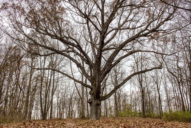 """Three Sisters"" White Oak Tree"
