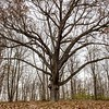 """Three Sisters"" White Oak Tree"