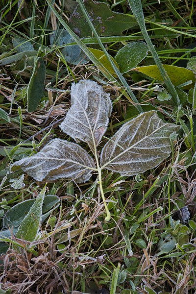 Morning Hoarfrost on Fallen Leaf Triplet