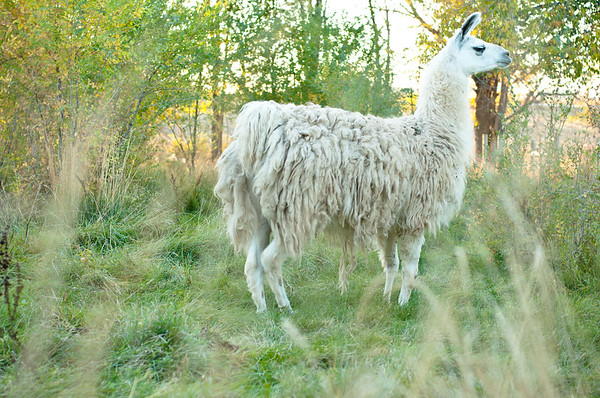 Llama in Golden Light
