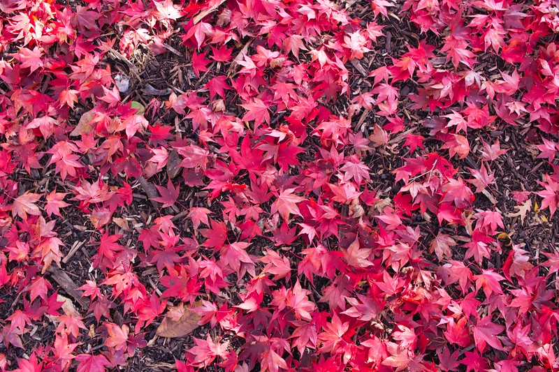 Fallen Red Deciduous Leaves