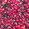 Fallen Red Deciduous Leaves
