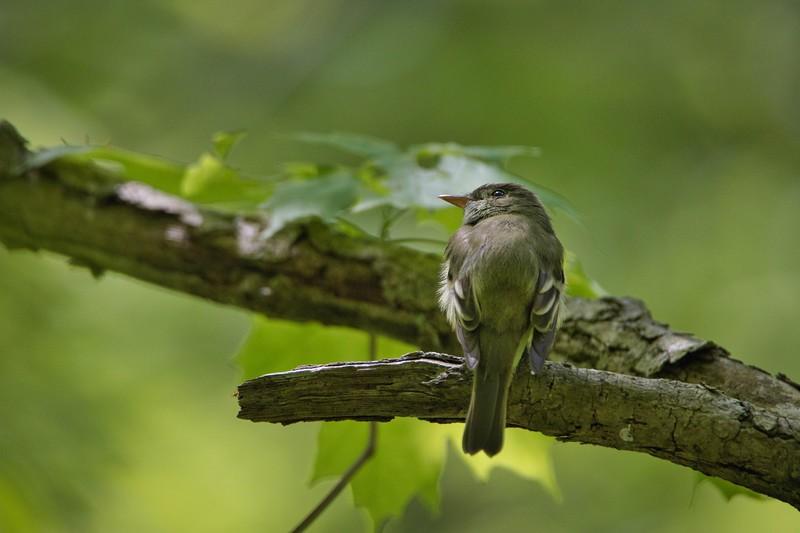 Acadian Flycatcher (Empidonax virescens)