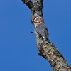 Red Bellied Woodpecker (Melanerpes carolinus)
