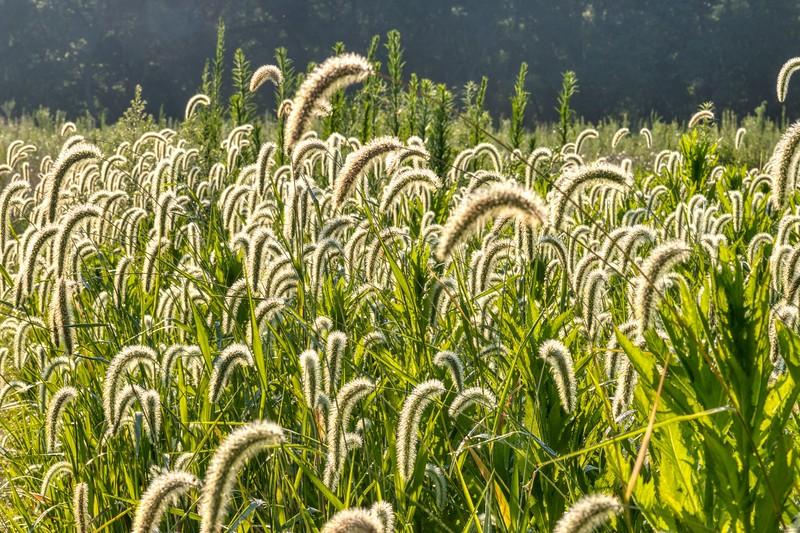 Foxtail Bristle Grass (Setaria italica)