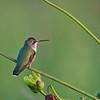 Ruby Throated Hummingbird (Archilochus colubris)