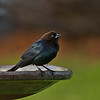 Brown Headed Cowbird (Molothrus ater)