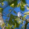 Blue Grey Gnatcatcher (Polioptila caerulea)