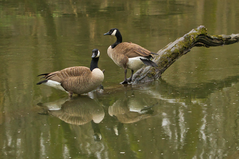 Canada Geese (Branta canadensis)