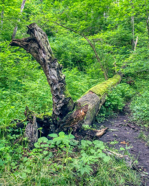 Deadfallen Tree
