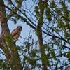 Great Horned Owlet (Bubo virginianus)