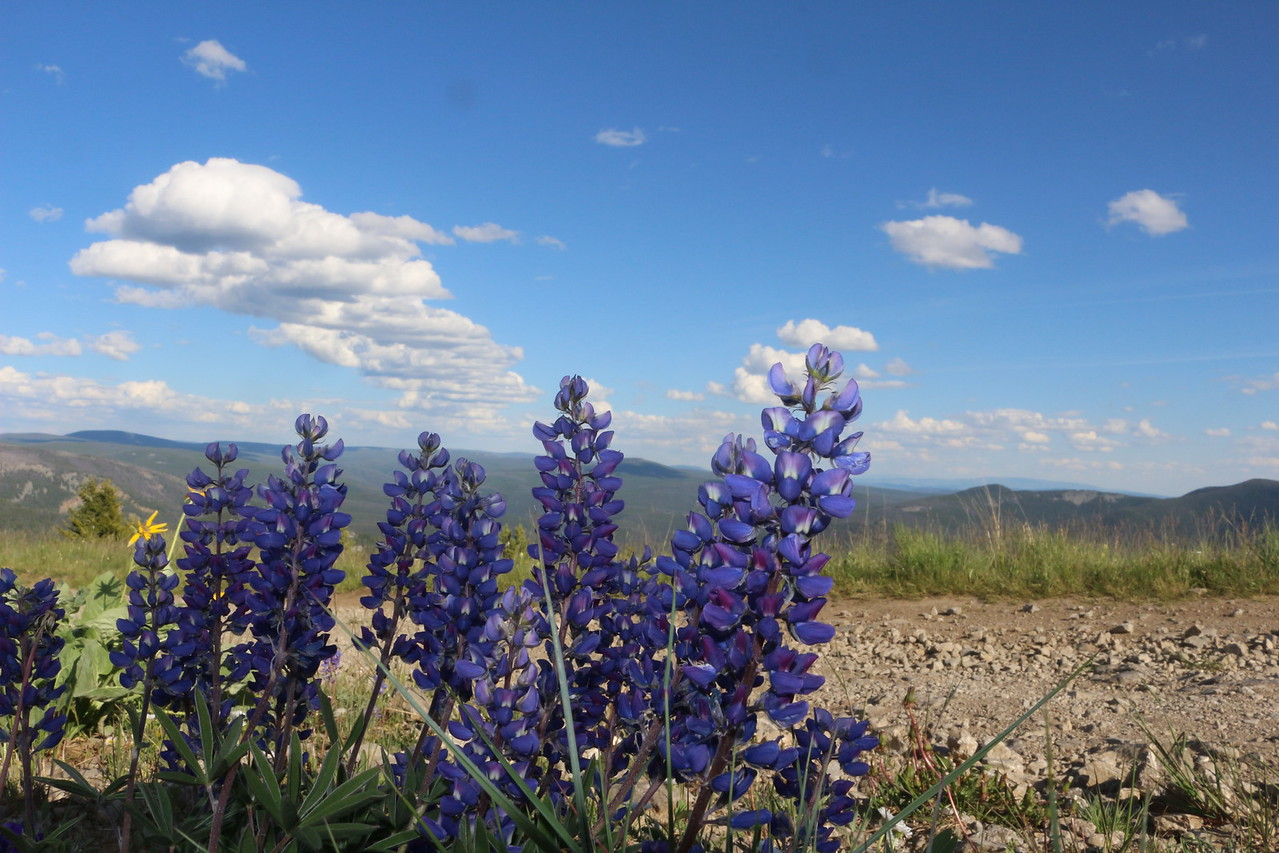 Lupine on  Monument Peak<br /> Lewis & Clark National Forest, Montana.
