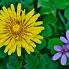 Common Dandelion (Taraxacum officinale) & Common Blue Violet (Viola papilionacea)