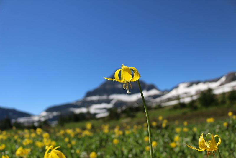 Glacier Lily<br /> Glacier NP