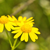 Yellow Daisies (Bellis perennis)