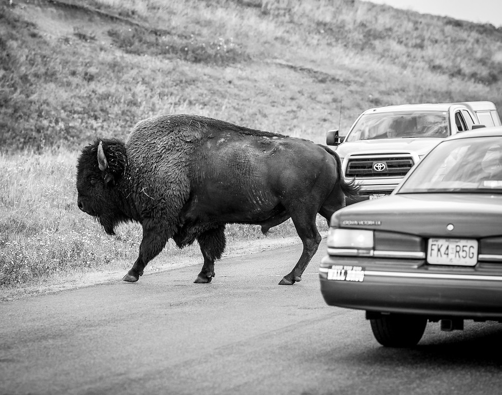 A Buffalo Crossed the Road