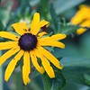 Yellow Coneflower (Ratibida pinnata)