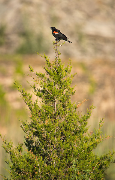 Red Winged Blackbird (Agelaius phoeniceus)